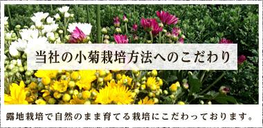 当社の小菊栽培方法へのこだわり