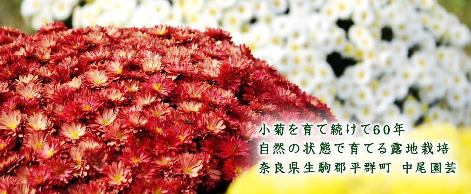 小菊を育て続けて60年 自然の状態で育てる露地栽培 奈良県生駒郡平群町 中尾園芸